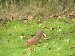 Red Squirrel, Newtonmore